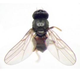 Шведские мухи