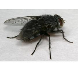 Пшеничная муха