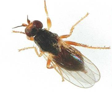 Шведская муха