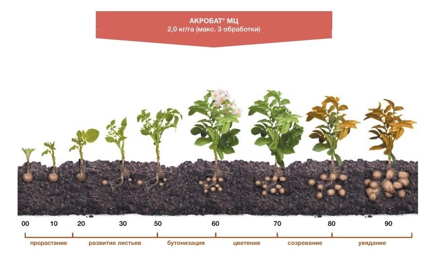 Применения фунгицида Акробам МЦ на картофеле