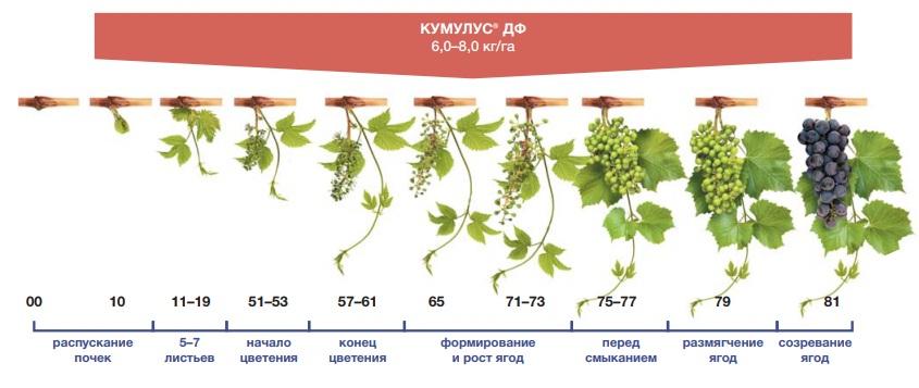 Фунгицид Кумулус на винограде