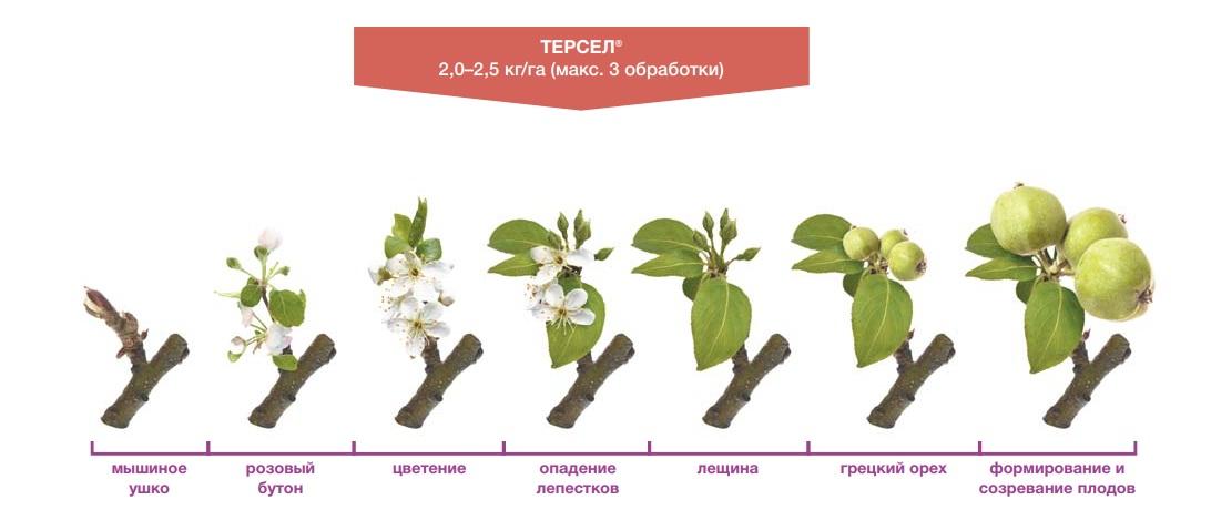 Схема применения фунгицида Терсел на яблоне